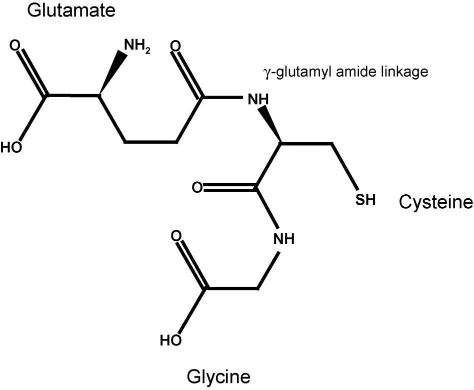 The Structure of Glutathione